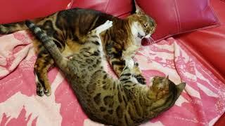 ベンガル猫レディース総長マオと副総長メイリの女子プロレス部