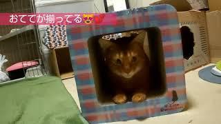お尻見えてますよ~あびちゃん20190115 猫 アビシニアン あびちゃん cat cute Abyssinian