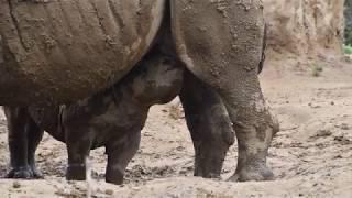 八木山動物公園 ヒガシクロサイ 授乳中のランと母ユキ
