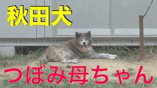 秋田犬つぼみ母ちゃんとフレブル小次郎くん Animal Rescue Nursing