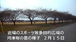 近場のスポーツ等多目的広場の河津桜のつぼみの様子 2月15日