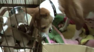 オッパイにぶら下がるバセンジーの子犬