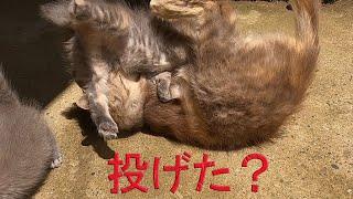 最後まで授乳していた子猫を投げる母猫