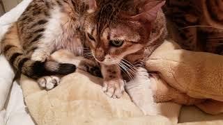 可愛いベンガル猫メイリ、マーズママ、リンダ