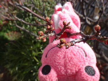 寒いんですが、梅のつぼみが膨らんできました🐸ハ・ヤ・ク・サ・ク・ケ・ロ