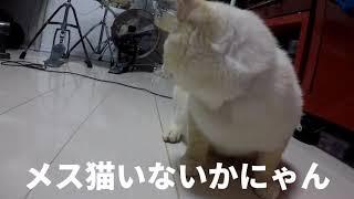 初投稿「もちまる」性欲がつよい「もちまる」がメス猫を探し部屋をうろちょろします。捨て猫だったので品種は分かりませんが多分スコティッシュフォールドのオス猫です。 4K/片目失明しています。