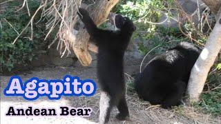 Andean Bears 🐻 cub 💘メガネグマ アガピトの日々 授乳と遊び🧡💛💜