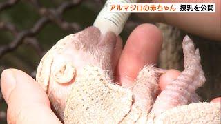 東伊豆町 アルマジロの赤ちゃん 授乳を公開(静岡県)