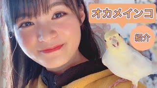 【オカメインコ】星名美津紀のモモちゃん紹介♂