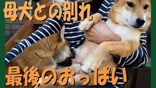 子犬が母犬との別れ際に最後のおっぱいを飲みまくる=!【甲斐犬・柴犬】