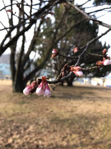 春の足音岐阜基地広報館のすぐそばの寒桜のつぼみが膨らんできました。もうすぐ咲きそうです。